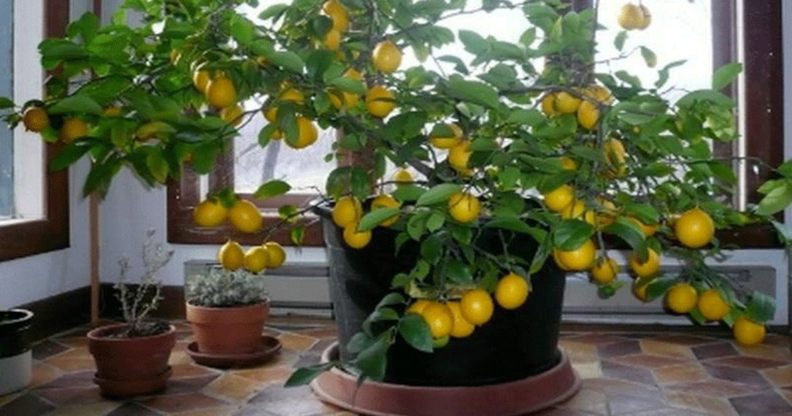 Here's How To Grow Your Own Lemon Tree At Home